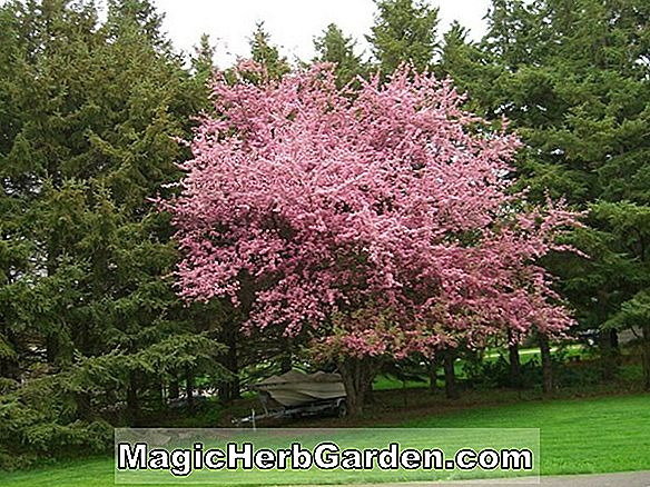 Planter: Malus (Red Peacock Flowering Crabapple)