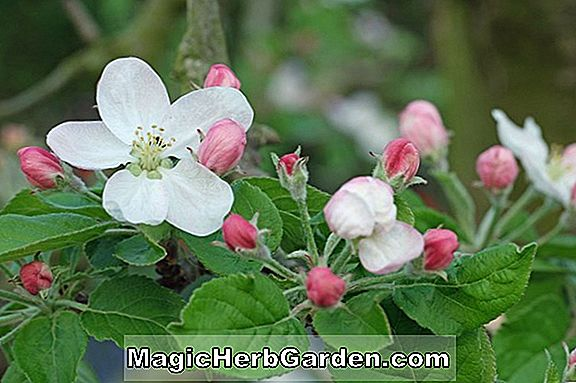 Malus domestica (Yellow Bellflower Apple)
