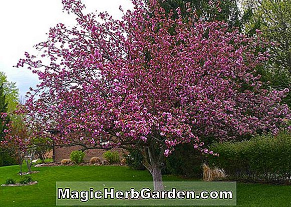 Tumbuhan: Malus (South Dakota Bona Flowering Crabapple) - #2