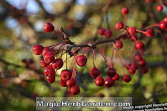 Malus (Shaker's Gold Flowering Crabapple)