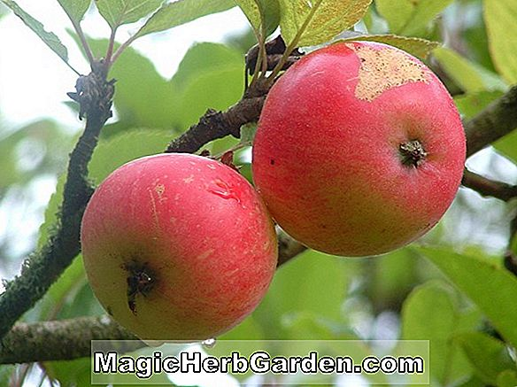 Malus domestica (Melrouge Apple)