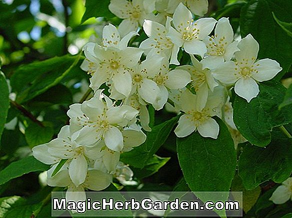 Philadelphus (Dame Blanche Mock Orange) - #2