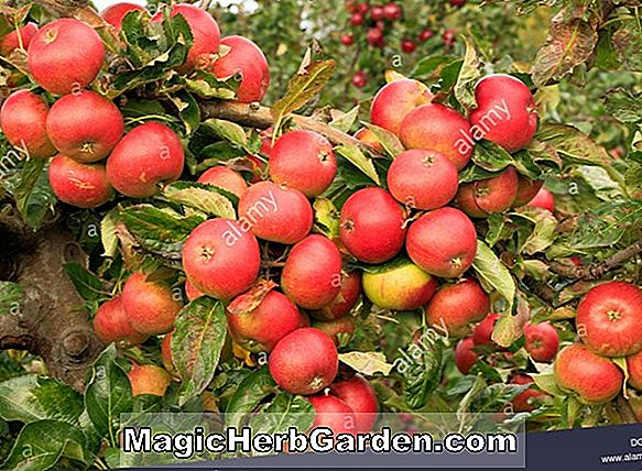 Malus domestica (Gul Transparent Apple)