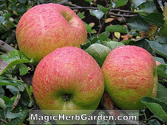 Malus domestica (Beverly Hills Apple)