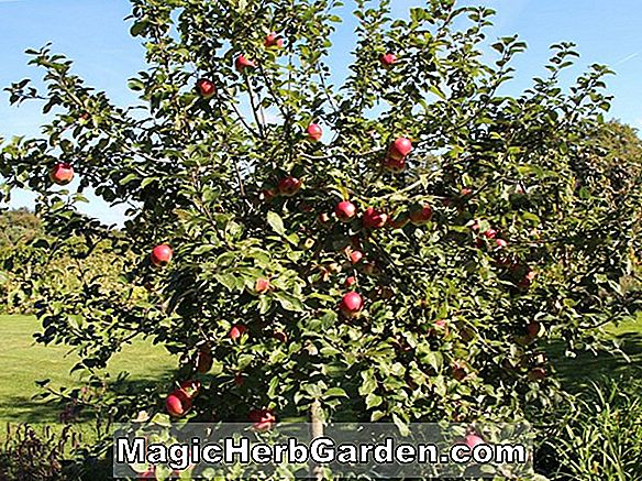 Malus domestica (Blushing Golden Apple)