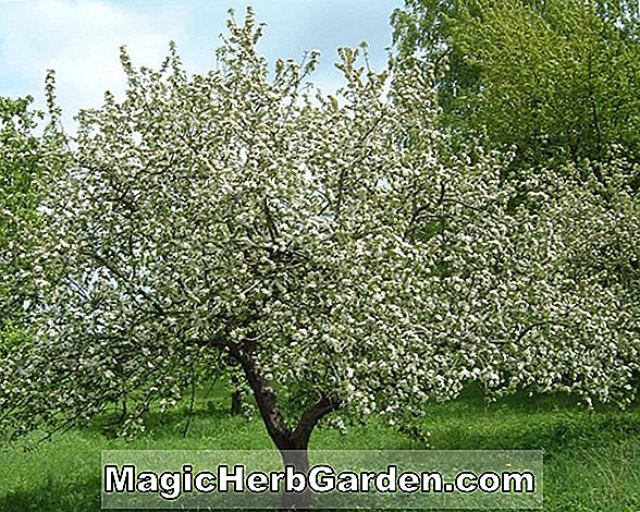 Plantes: Malus domestica (Lady Apple) - #2