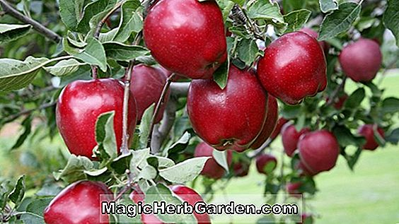 Planter: Malus domestica (Standard Delicious Apple)