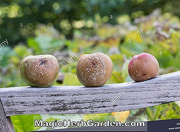 Planter: Malus domestica (Buff Apple)