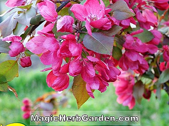 Planter: Malus domestica (Buckingham Apple)
