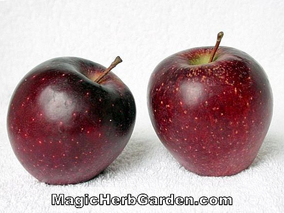 Malus domestica (Cherry Cox Apple)