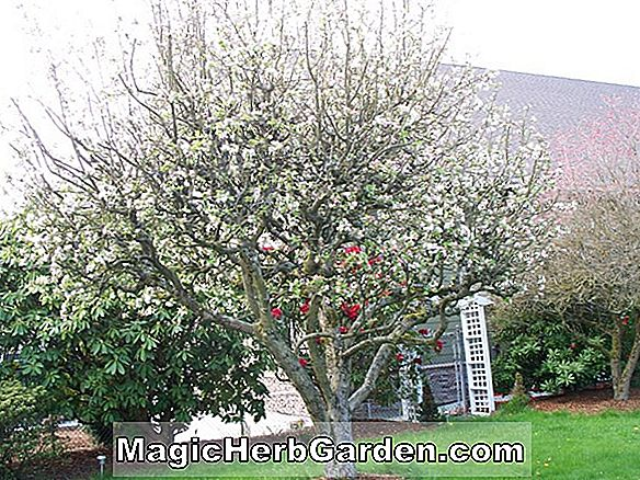 Planter: Malus domestica (Dolgo Crab Apple)
