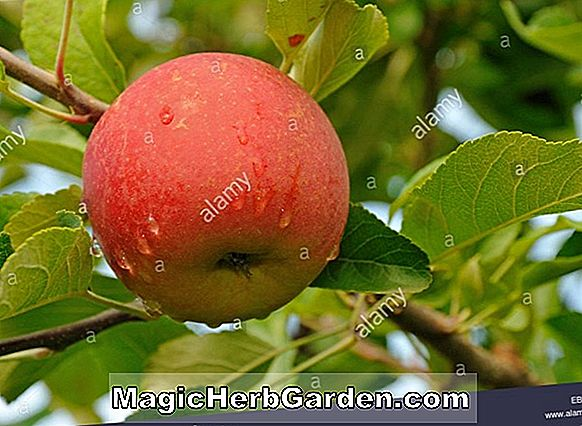 Malus domestica (Elstar Apple)