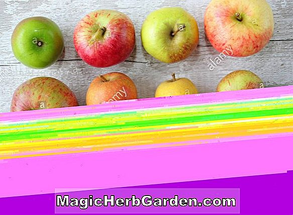 Planter: Malus domestica (Egremont Russet Apple)