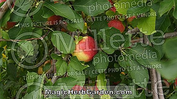 Malus domestica (Na's Gold Apple)