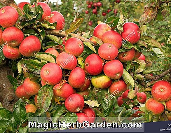 Planter: Malus domestica (Freedom Apple)
