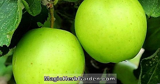 Malus domestica (Apple Tree)