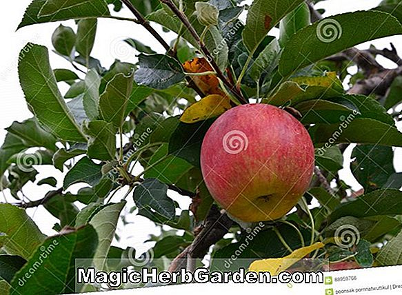 Malus domestica (Garden Delicious Apple)
