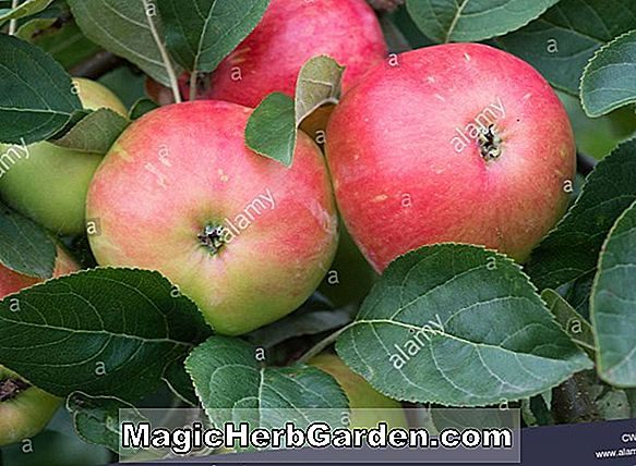Malus domestica (Garden Royale Apple)