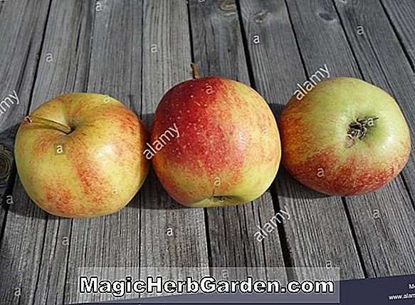 Malus domestica (Gloster Apple)
