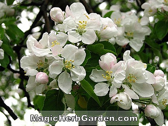 Planter: Malus domestica (New Jersey 46 Apple)