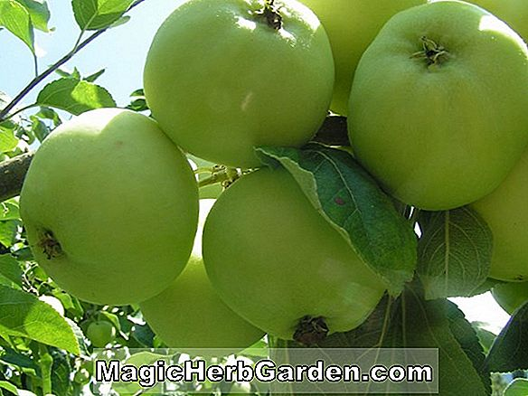 Malus domestica (Jerseymac Apple)