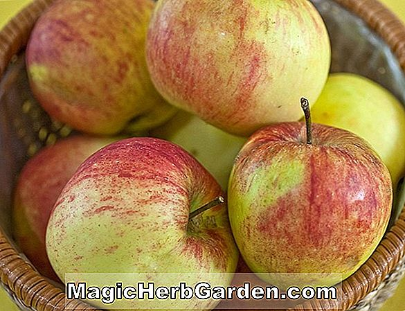 Malus domestica (Etter's Gold Apple)
