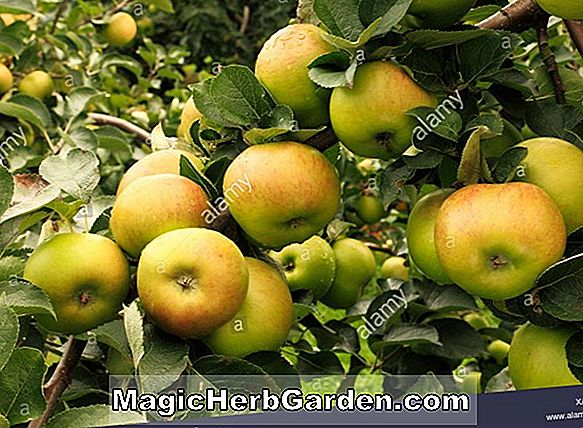 Planter: Malus domestica (King Cole Apple)