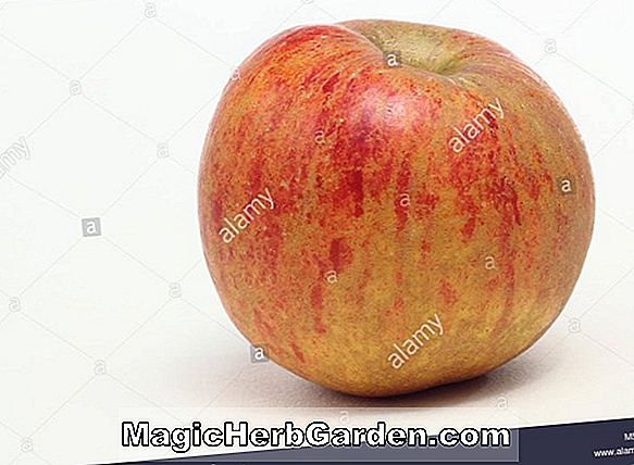 Malus domestica (Melon Apple)