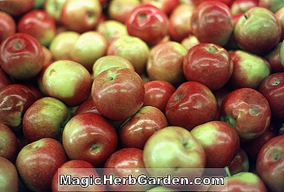 Planter: Malus domestica (Novamac Apple)