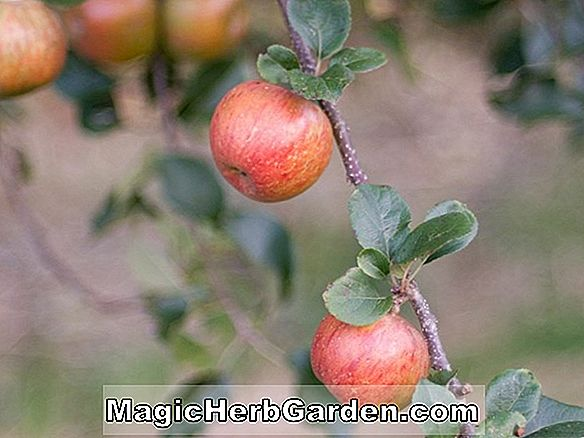 Planter: Malus domestica (Orleans Reinette Apple)