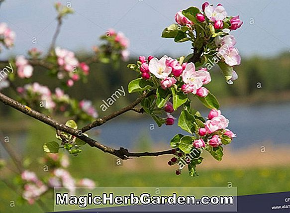 Malus hybrida (Profusion Flowering Crabapple)