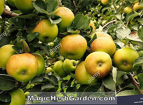 Malus domestica (Red Gold Apple)