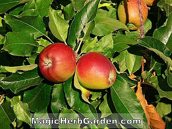 Malus domestica (Red Royal Limbertwig Apple)
