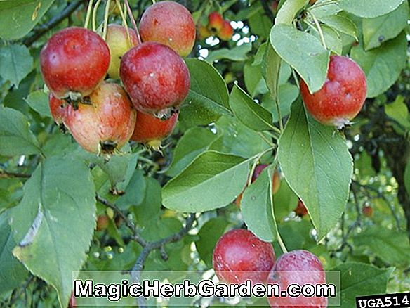 Malus domestica (Sierra Beauty Apple)