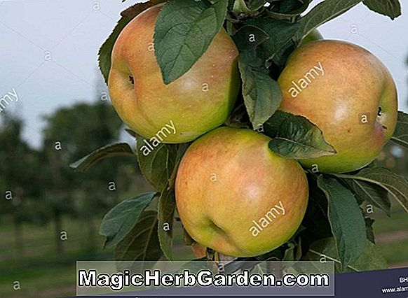 Planter: Malus domestica (Snow Apple)