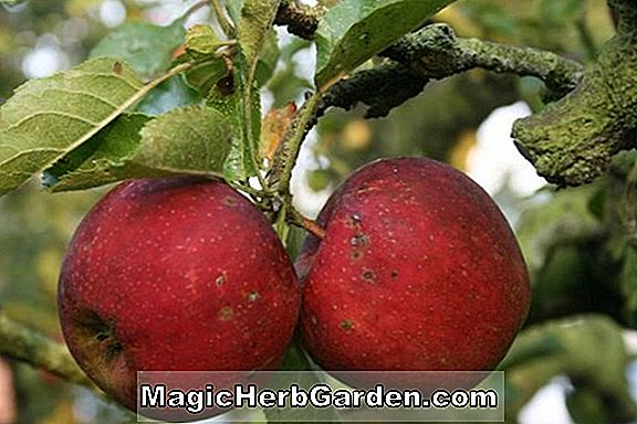 Malus domestica (Spur Criterion Apple)