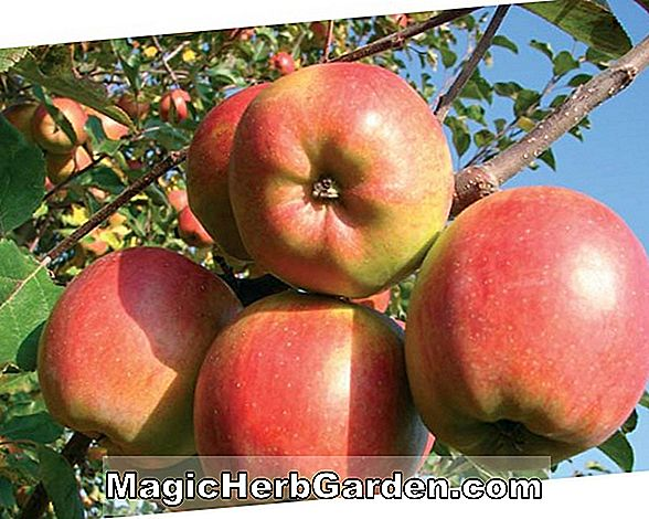 Malus domestica (Sommer Champion Apple)