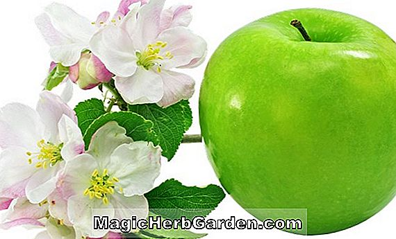 Planter: Malus domestica (Transparent Apple)