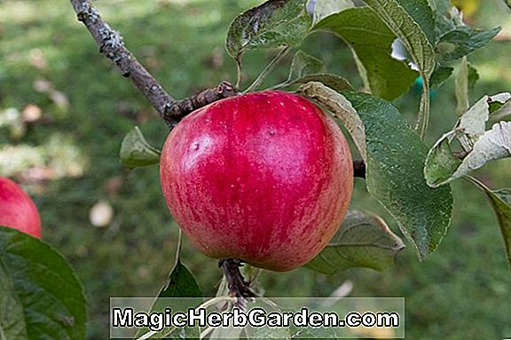 Plantes: Malus (Akane Apple)