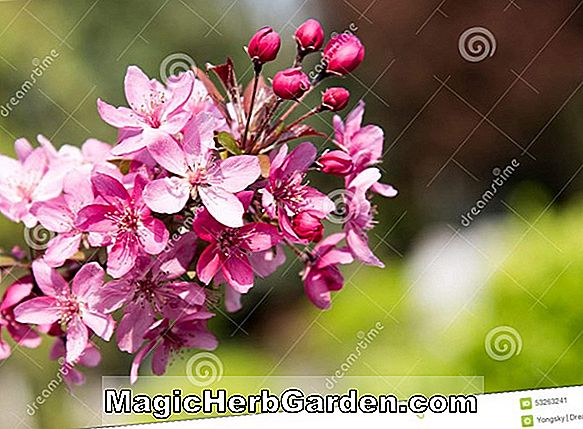 Malus halliana (Crabapple)