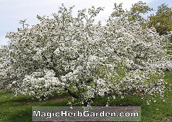 Malus hybrida (Spring Snow Flowering Crabapple)