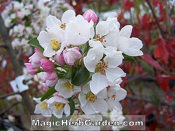 Malus hybrida (David Flowering Crabapple)
