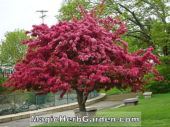 Malus hybrida (Strawberry Parfait Blomstrende Crabapple)