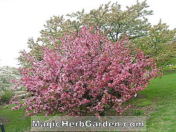 Malus hybrida (Van Eseltine Flowering Crabapple)
