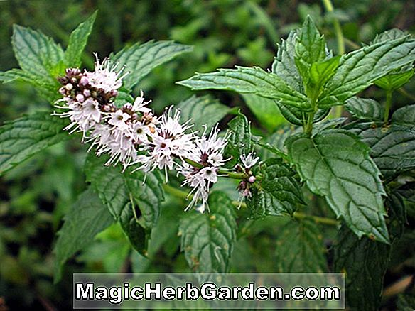 Planter: Mentha spicata (Spearmint)