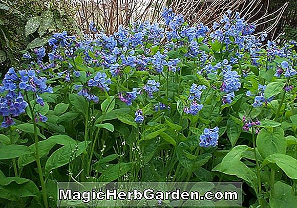 Mertensia virginica (Virginia Bluebells)