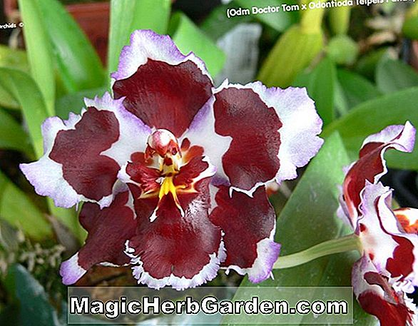 Miltoniopsis Emotion (Pansy Orchid)
