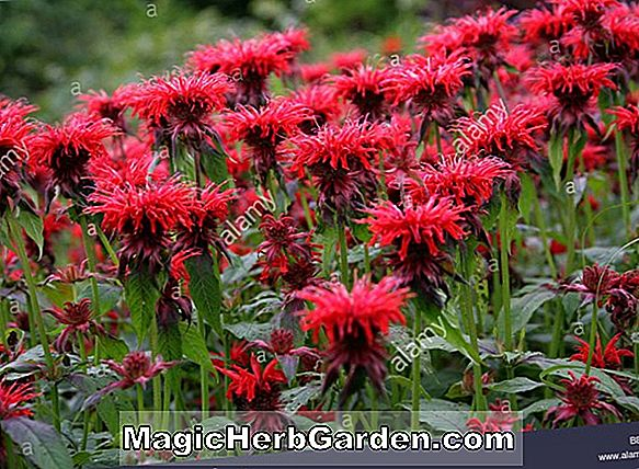 Monarda (Cambridge Scarlet Monarda)