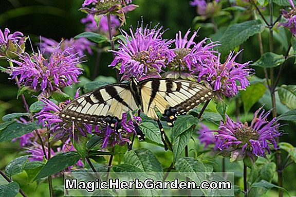 Planter: Monarda citriodora (Lemon Bergamot)
