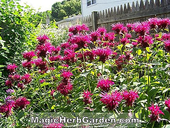 Planter: Monarda Didyma (Marshall's Delight Bee Balm)
